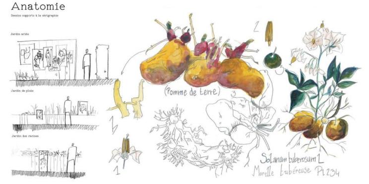 Anatomie de la pomme de terre