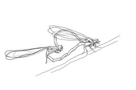 libellule-amoureuse-insectes--a967e4T650