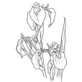 plante-Iris-pseudacorus-Iris-des-marais
